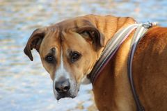 Brown sad look half breed dog. Wonderful picture of a brown sad look half breed dog. It`s looking into the camera, it has a very romantic and sad look. CANON royalty free stock image