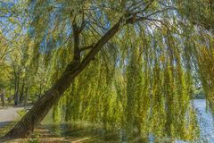 Wonderful picture of a Weeping Willow tree on a sunny autumn day. In Voerendaal South Limburg in the Netherlands Holland stock photo