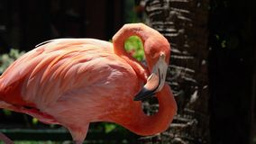 Wonderful pink flamingo tender bird having rest staying calm by the pond sleeping in wild nature in 4k close up view. Wonderful pink flamingo tender bird has stock video footage