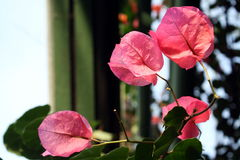 Wonderful pink leaves Stock Images