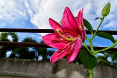 Wonderful Pink Lily and the pollen with blue sky background stock images
