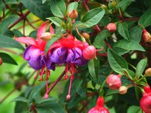 Pink Fuchsia. Wonderful pink and red blossom of a fuchsia plant - close up Stock Photo