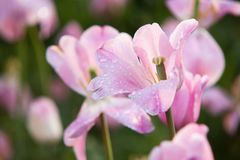 Wonderful pink tulip blooming on a lawn. Delicate pink tulip with drops of dew on petals blooming on a lawn in a park or garden Royalty Free Stock Photos