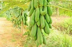 Wonderful plenty fuit of tree. Banana tree with fruit in the farm Stock Photography