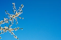 Wonderful plum tree blossom. Royalty Free Stock Image