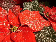 Wonderful poinsettia. Wonderful wintery poinsettia royalty free stock image