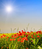 Wonderful poppies and fun sunbeams. Stock Photos
