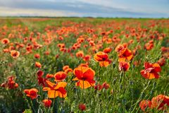 Wonderful poppy field, summer landscape at sunrise.  royalty free stock images