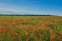 Wonderful poppy field, summer landscape at sunrise.  royalty free stock photography