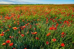 Wonderful poppy field, summer landscape at sunrise royalty free stock photography