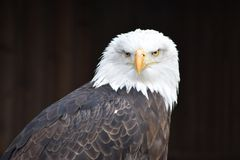 Wonderful portrait of a majestic american bald eagle. Can be used as a background stock photography