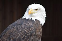 Wonderful portrait of a majestic american bald eagle. Can be used as a background Stock Photos