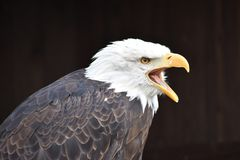 Wonderful portrait of a majestic american bald eagle. Can be used as a background stock images