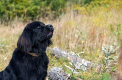 Wonderful portrait of Newfoundland dog in the forest. Wonderful portrait of black Newfoundland dog in the forest stock image