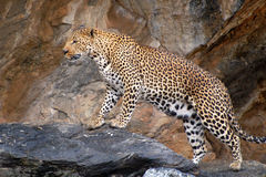 Wonderful and proud Leopard in Namibia Royalty Free Stock Photo