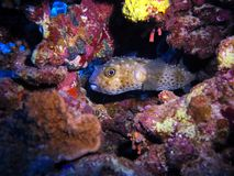Puffer-fish in a cavern between coraks stock photography
