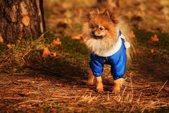 Wonderful puppy is staying in the golden forest in autumn time Stock Image