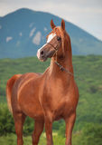 Wonderful  purebred arabian chestnut  stallion at mountain backg Stock Images