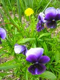 Wonderful purple flowers on the field.  royalty free stock photography