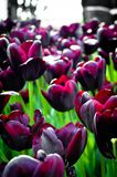 Wonderful purple tulips. Purple tulips begin to grow in the months of march and april Stock Images