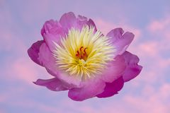 Purple Peonie on diffused sky. Wonderful purple and yellow Peonie on a diffused cloudy sky royalty free stock photo