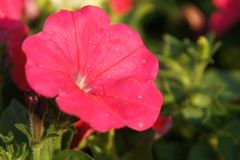 A wonderful red flower in Tainan Taiwan.  royalty free stock photography