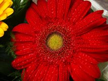 Wonderful red gerbera with water drops. royalty free stock photography
