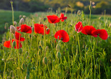 Wonderful red poppies Stock Images