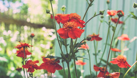 Wonderful red poppies Royalty Free Stock Photo