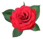 Wonderful red Rose Rosaceae isolated on white background. Germany Royalty Free Stock Photos