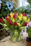 Wonderful red and yellow tulips. royalty free stock image