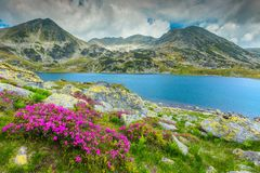 Wonderful rhododendron flowers and Bucura mountain lake, Retezat mountains, Romania royalty free stock image