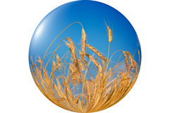 Free Wonderful, Ripe Wheat Against Blue Sky Background. Stock Photo - 16175370