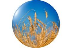 Wonderful, ripe wheat against blue sky background. Stock Photo