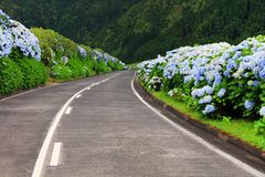 Wonderful road in Sao Miguel Island. Hortensias boarding the road in the volcanic crater lake of Sete Citades in Sao Miguel Island of Azores Portugal stock photo