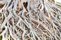 Wonderful root pattern. Wonderful bo roots on the ground Royalty Free Stock Image