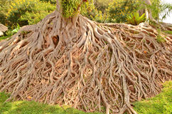 Wonderful root of tree. Wonderful plenty root on the ground royalty free stock photo