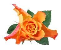 Wonderful Rose Rosaceae isolated on white background. Germany Royalty Free Stock Photography