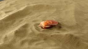 Wonderful sea shell, pink, on sand, shadow stock video footage