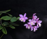 Wonderful set of lilac orchid flowers Royalty Free Stock Images