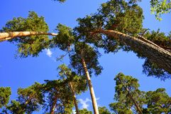 Wonderful Pinetrees Rising into the Sky Royalty Free Stock Photos