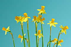 Wonderful spring. Springtime: Lots of daffodils with turquoise background Royalty Free Stock Images
