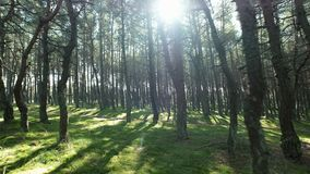 Green forest and sun on the tops trees, no people. Wonderful spring area of lonely scenery national park. Beauty of world, movement on the way between high stock video footage