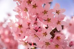 Peach trees blossom, the colors in the fields is pink, warm weathe stock image