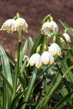 Wonderful spring white flowers are snowdrops with rays of the sun stock photos