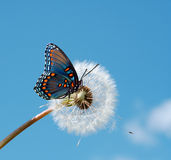 Wonderful Springtime. Beautiful Blue butterfly on a white dandelion Stock Image