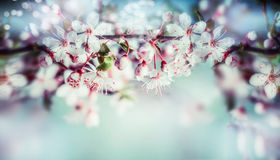 Wonderful springtime blossom of cherry tree or sakura, floral sprig border with outdoor nature Stock Images