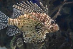 Wonderful Striping on a Zebrafish Swimming Under Water. Zebrafish swimming through a rock reef underwater Stock Photos