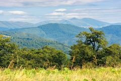Wonderful summer landscape of carpathians. Primeval beech forest on the edge of alpine meadow. svydovets mountain ridge in the distance. blurred foreground royalty free stock photos