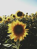 These are wonderful summer sunflowers with a big green leaves royalty free stock photography
